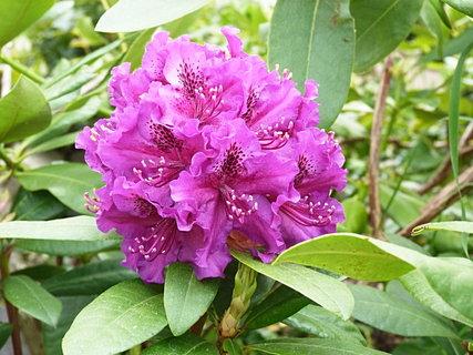 FOTKA - Fialový rododendron