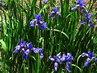 irisy v květu