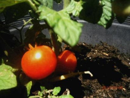 FOTKA - rajčátka ze zahrádky jsou chutnější
