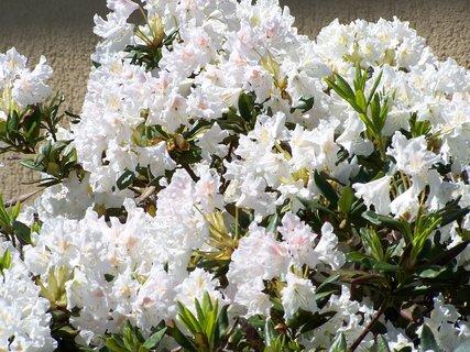 FOTKA - rododendron v bílé