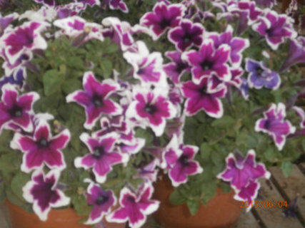 FOTKA - mnoho květů ve dvou květináčích