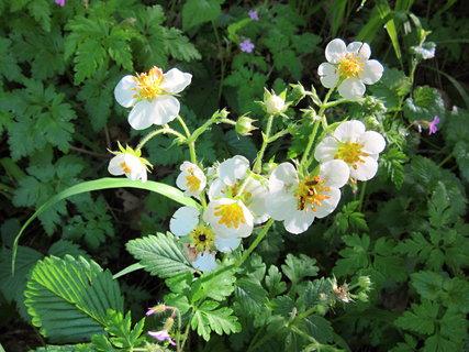 FOTKA - lesní jahody kvetou