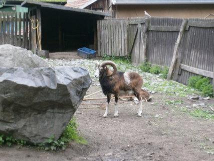FOTKA - mufloni