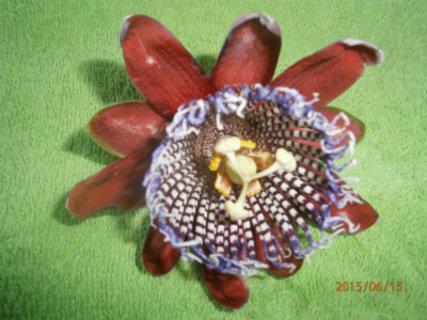 FOTKA - sousedovi se pnou po celé zídce,je to subtropická mučenka -Mučenka OBŘÍ - Passiflora alata