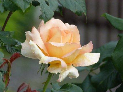 FOTKA - Čajová růžička
