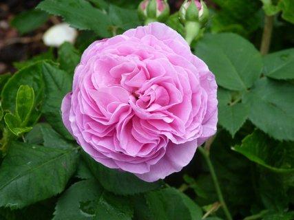 FOTKA - Růžová vlnivá růže