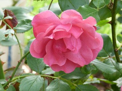 FOTKA - Sladce růžová růžička