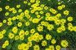 žluté trsy