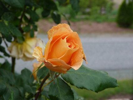 FOTKA - Oranžová - poupě