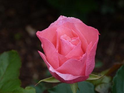 FOTKA - Růžová poupě