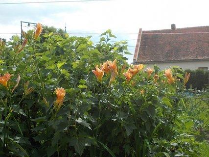 FOTKA - v řadě květy Denivek