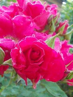 FOTKA - růžová poupátka