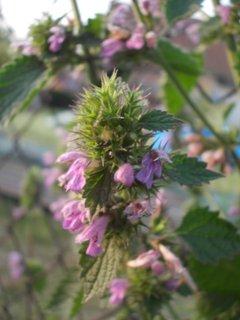 FOTKA - kvetoucí kopřiva