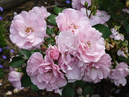 FOTKA - Chumel malých  růžových růžiček