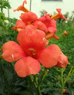 FOTKA - oranžové zvony