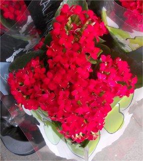 FOTKA - rudé krásné drobné kvítečla
