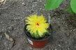 Tatínkův kaktus,