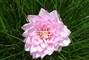 růžová jiřina I