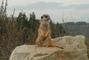 surikata hlídá