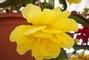 Žltá begónia