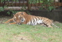 tygr v pražské zoo