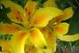 žlutá lili