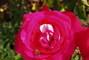 růže - 8)