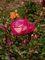 krásná růže v sadu kvetla.....