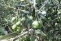 Olivy zblízka