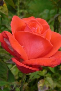 FOTKA - květ růžičky