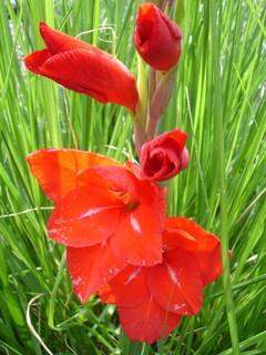 FOTKA - červený gladiol