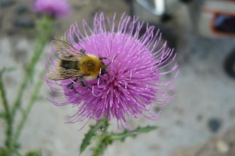 FOTKA - bodlák a včela