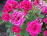 poléhavé růže