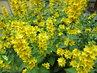 žlutý keřík ..foto z procházky
