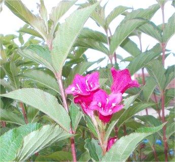 FOTKA - ještě se najde nějaký květ na Wiegele