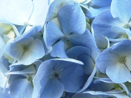 FOTKA - Hortenzie modrá - detail květů