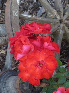 FOTKA - Růžičky červené