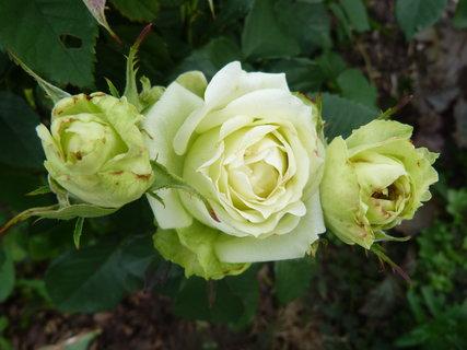 FOTKA - Růžičky zelenobílé
