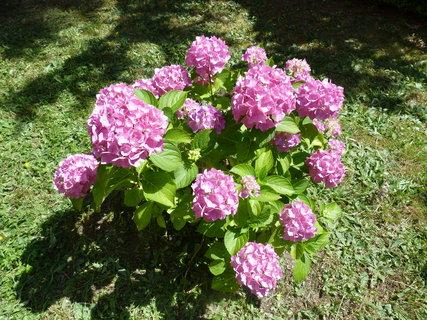 FOTKA - Hortenzie růžová