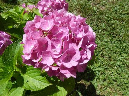 FOTKA - Detail okvětí hortenzie