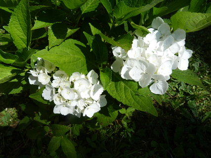 FOTKA - Bílá hortenzie