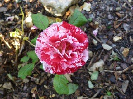 FOTKA - Růžička žíhaná červeno  bílá