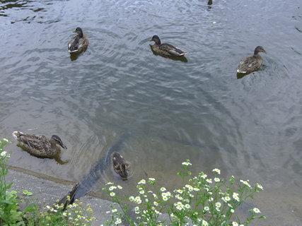 FOTKA - Kachny v rybníce