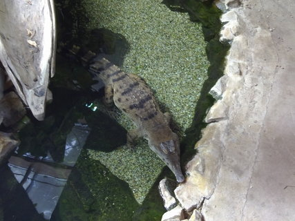 FOTKA - Aligátor v jezírku