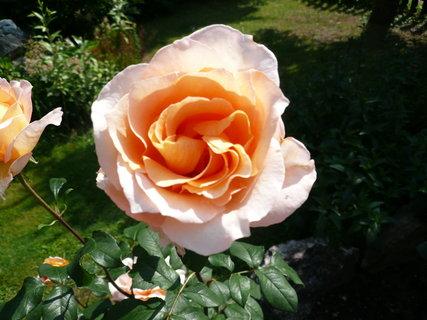 FOTKA - oranžová růže