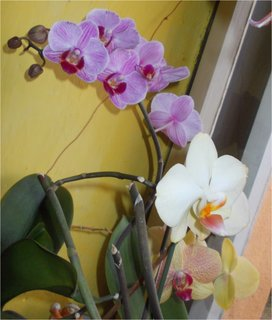FOTKA - tři barvy orchidejí