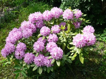 FOTKA - keř rododendronu