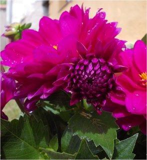 FOTKA - Jiřinky znovu kvetou