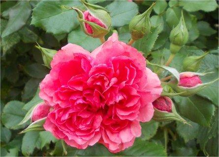 FOTKA - znovu kvetoucí keře růží