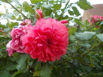 FOTKA - uvadající i kvetoucí zároveň